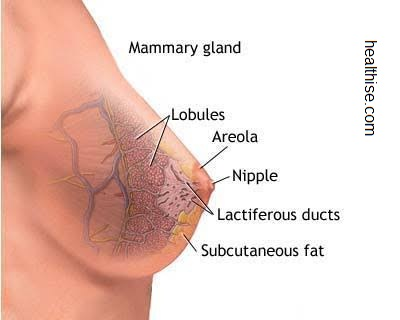 breast cancer diagram and inner parts