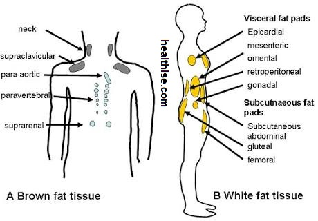health impact - white fat tissue vs bad fat tissue