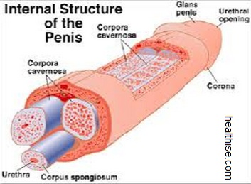 penis inner parts and anatomy