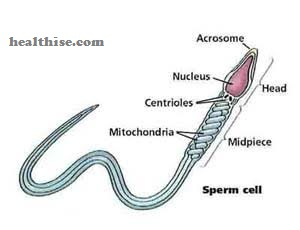 sperm diagram and its structure