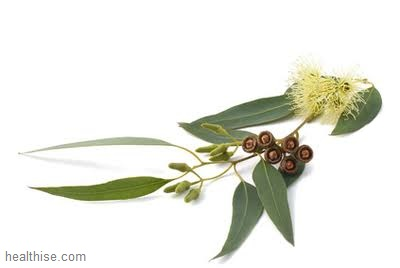 Essential Oils in The Home - Eucalyptus a clear and sharp scent