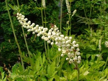 Menopause and Natural Black cohosh Treatment
