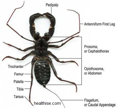 Scorpion Bites (Stings) Symptoms and Ayurvedic Natural Home Remedies