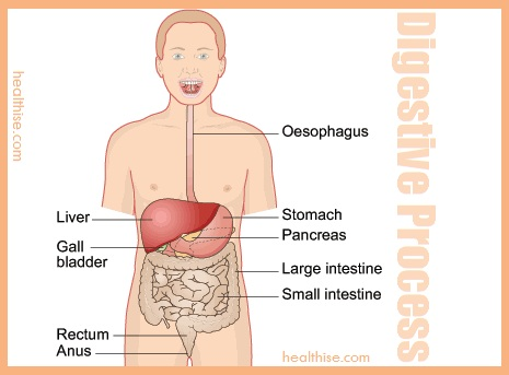 digestive process to explain weight gain