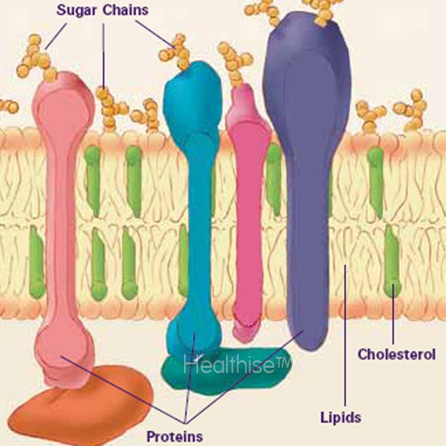 lipid raft proteins sugar cholesterol