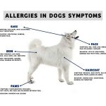 Dog Allergies Symptoms and Home Remedies